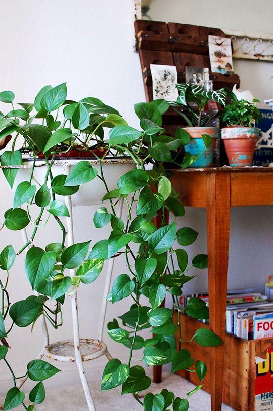 mequetrefismos-plantas-jiboias-em-casa